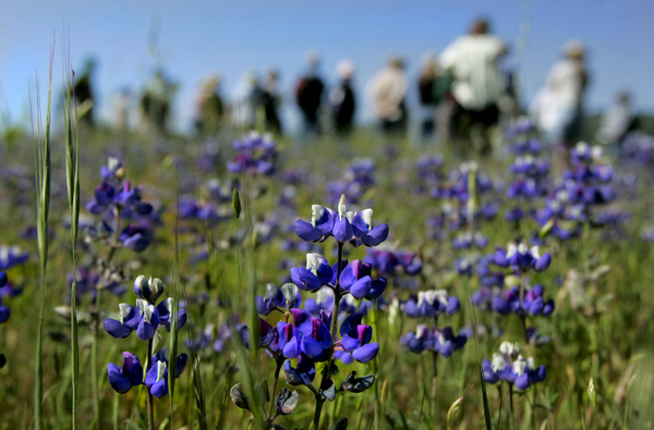 Hikers enjoy a a full bloom Spring in a field of lupin (lupine) at the 162 acre Van Hoosear Wildflower Preserve at the base of Sonoma Mountain in Sonoma, during a group wildflower walk. Press Democrat file