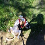 Sylvester enjoys a roll in the grass after his hike at Healdsburg Ridge.