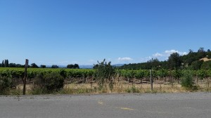 Vineyards line the drive to the parking lot.