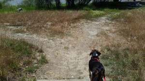 Sylvester sniffs out the trail at Lake Benoist.