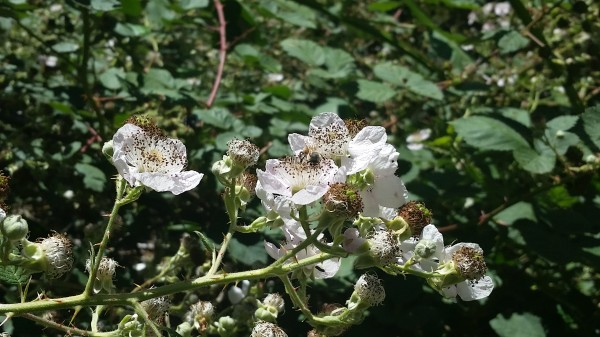 Bee pollinating a flower on Blackberry Trail.