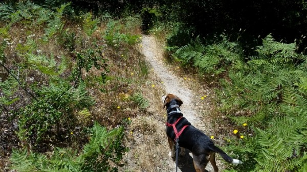 Sylvester stands in attention, on Blackberry Trail.