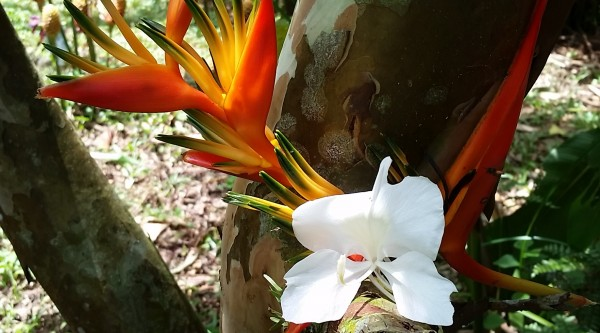 Birds of Paradise, are some of the flowers grown at Up In the Hill