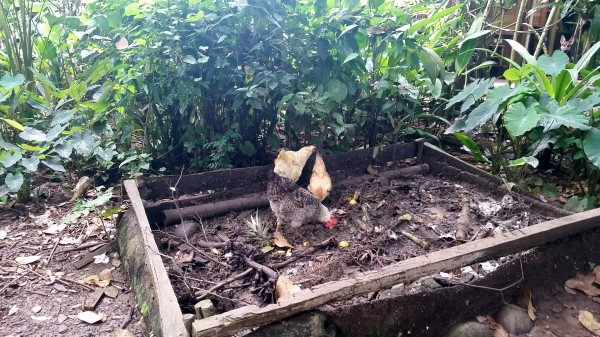 Chickens cruising the compost pile at Up In The Hill