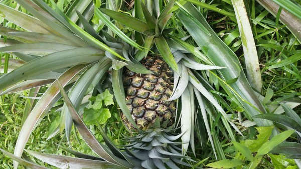 Pineapples growing at Up In The Hill.